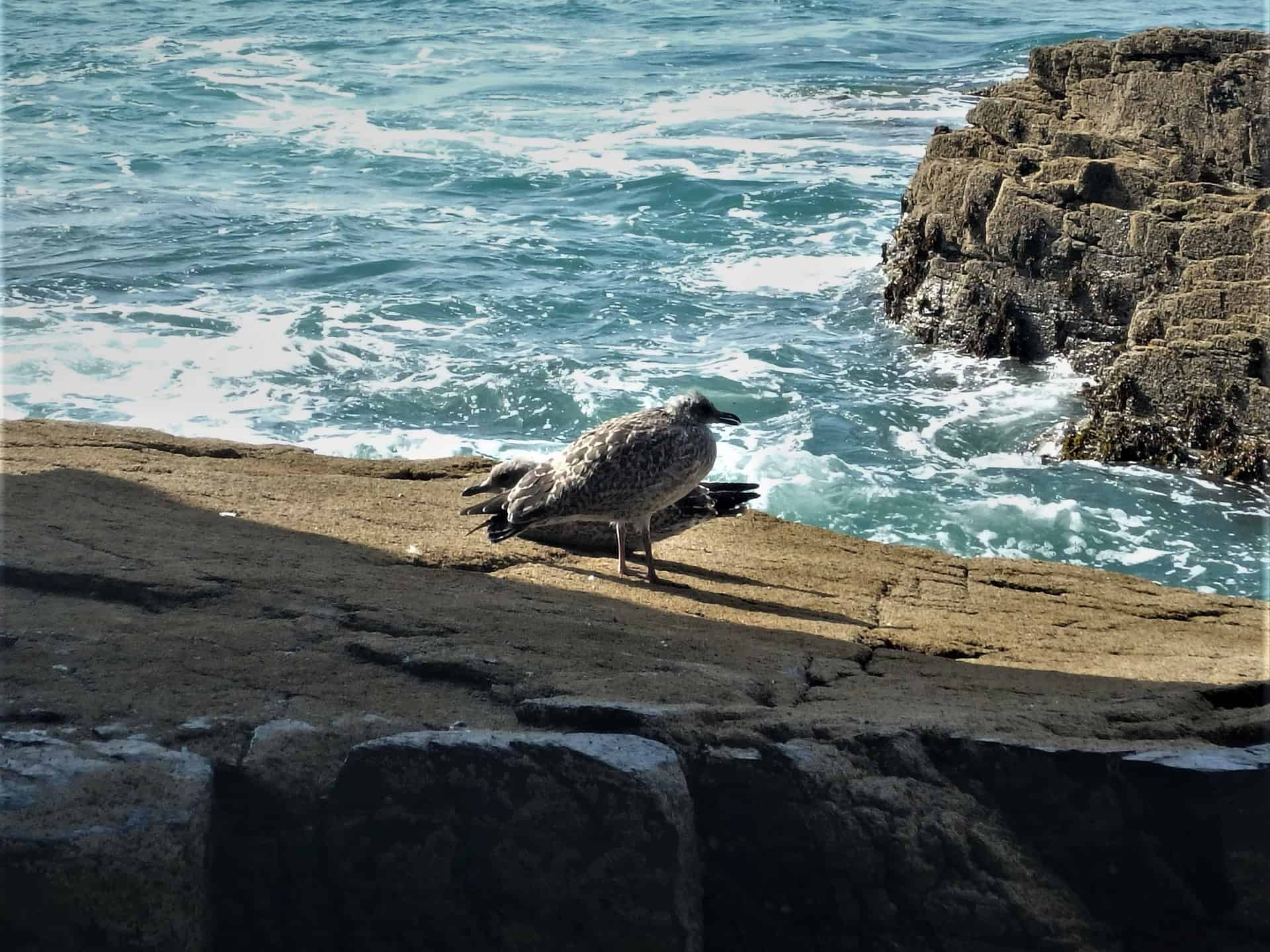 Two herring gull chicks seen whilst coasteering at Praa Sands, Cornwall
